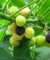 Jatropha curcas seeds can be processed to produce a high-quality biodiesel fuel.
