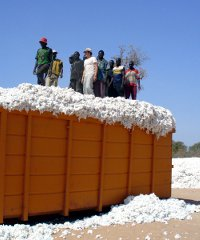 GM cotton is produced by 80,000 farmers in Burkina Faso