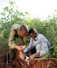 Cassava is one of Africa's most widely grown crops, but has not been a great commercial success. A Nigerian company, Thai Farm, has, however, achieved success by producing cassava flour.