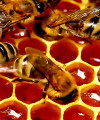 bees honey 200x240